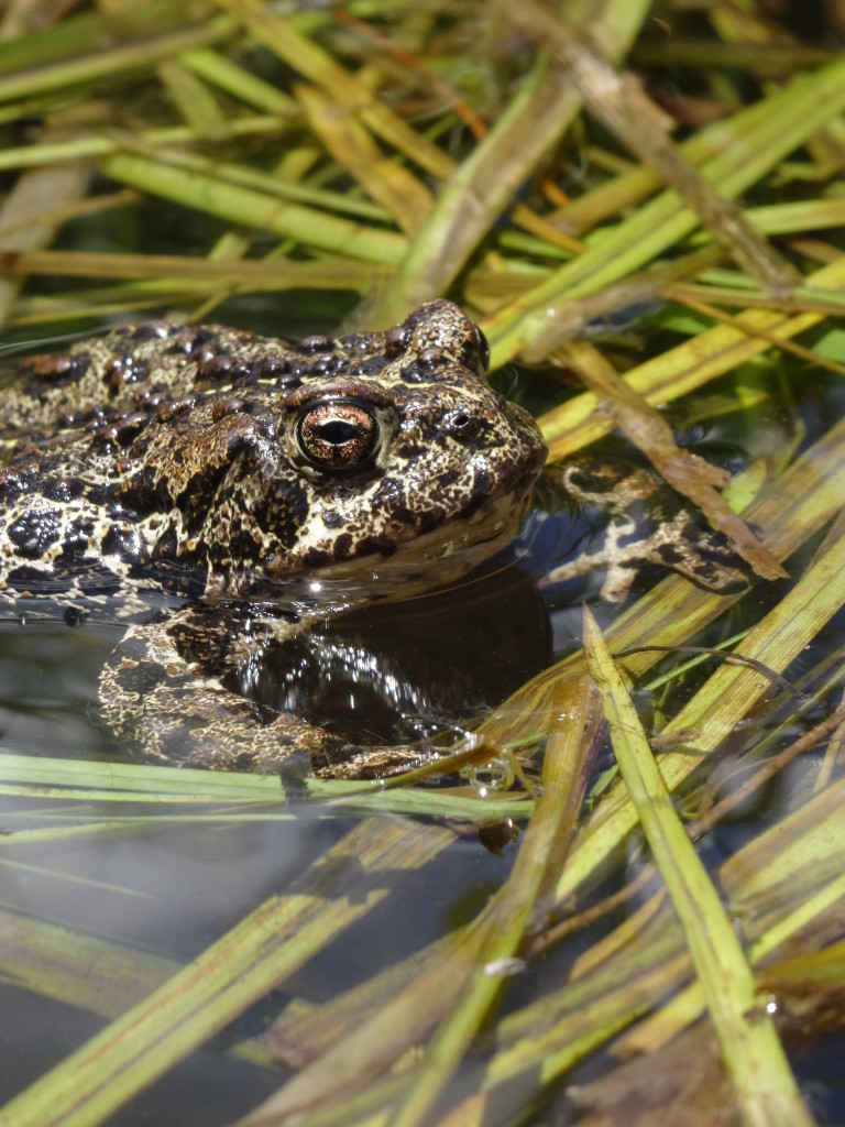 Bryant's Fork Toad survey with Hogle Zoo (26)