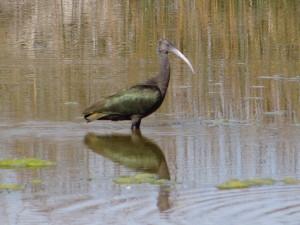 Leland Harris ibis (3)