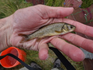This is not a least chub but is a Utah chub which is the larger fish that lives in the same springs